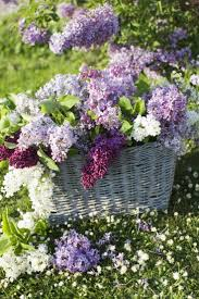 1026 best lilacs images on pinterest flowers lilacs and