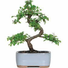 chinese elm bonsai tree walmart com