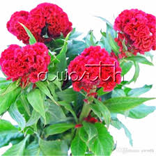 cockscomb flower cockscomb flower 1000 seeds easy growing diy home garden