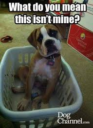 boxer dog funny what do you mean this isn u0027t mine dog fancy dog memes