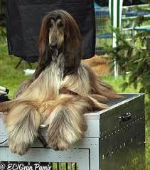 afghan hound breeders new york agha djari u0027s afghans calista afghan hound pinterest afghans