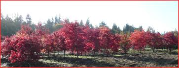 redleaf japanese maple trees available in washington state and