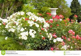 Decorative Shrubs Rose Garden With Vase Stock Photos Image 33619203