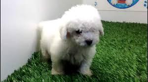 poodle y bichon frise venta de perros cachorros french poodle mini toy macho cachorros y