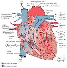 Anatomy Of Human Heart Pdf Circulatory System Heart Anatomy Human Anatomy Library