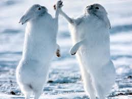 tundra native plants arctic wildlife although hares are known for eating plants they