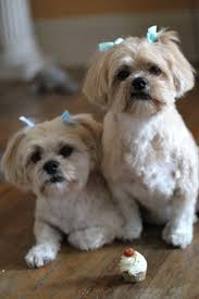 99 best puppies u0026 more images on pinterest puppies lhasa