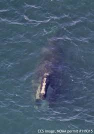 right whales return to cape cod bay news capecodtimes com