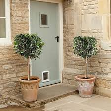 pair of hardy standard olive tree mediterranean ornamental