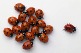 risks and prevention of asian ladybug allergy