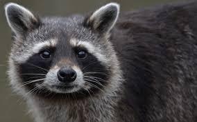 hd raccoon wallpapers download free 875713