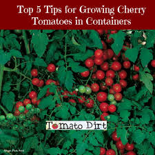 tips for growing cherry tomatoes in containers or pots growing