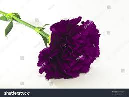 purple carnation flower stock photo 39742894 shutterstock