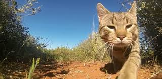 for whom the bell tolls cats kill more than a million australian