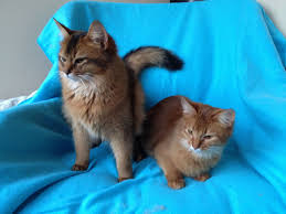 young somali cats for sale glasgow lanarkshire pets4homes