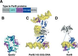 structural biology of plasmid partition uncovering the molecular