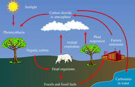 how does carbon cycle through the biosphere socratic