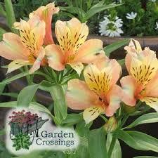 Alstroemeria Alstroemeria Inca Ice Buy Peruvian Lily Perennials Online