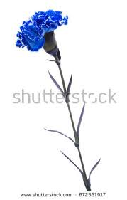 blue carnations blue carnations stock images royalty free images vectors