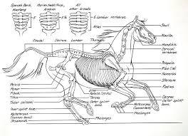 Dog Anatomy Book 11 Best Horse Anatomy Images On Pinterest Horse Anatomy Horse