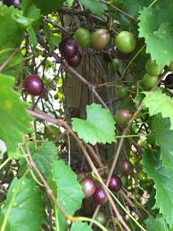 muscadine grape a popular fruit for north florida gardening in