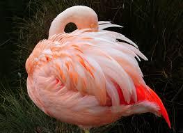 flamingo facts for kids flamingo behavior u0026 diet