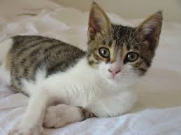 cyprus cat wikipedia
