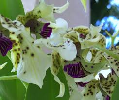 dendrobium orchid dendrobium orchid profile