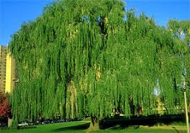 willow tree family willis orchards
