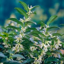 Fragrant Patio Plants Special Deal Sarcococca Confusa Sweet Box Sarcococca Large