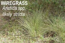 mississippi native plants wiregrass aristida spp likely stricta plants and gardens