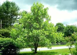 small trees for privacy best backyard trees tulip tree small trees