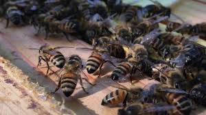 invasion of the small hive beetles backyard beekeeping youtube