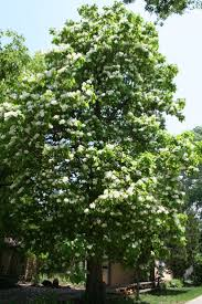 22 best northern catalpa images on pinterest fruit drought