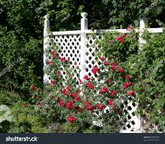 white trellis supporting large red rose stock photo 56855050