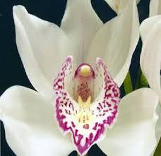 cymbidium orchid white cymbidium orchid upstate flower market