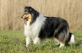 afghan hound collie mix 11 stunning photos of collies doing what they do best american