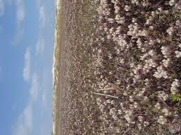 san diego native plant society species profile