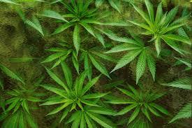 the renaissance of an ancient plant spirit ally graham hancock