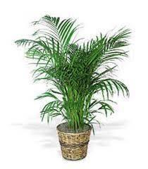 indoor plants india indoor plants view specifications details of indoor plants by
