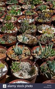 succulent plants for sale in the world u0027s largest succulent nursery