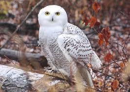 hinterland who u0027s who snowy owl