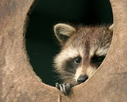 raccoon attunements and their message the metaphysical