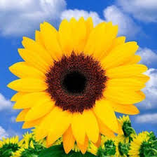 bouquet of sunflowers vibrant sunflower bridal bouquet global