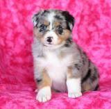 puppies for sale pa australian shepherd puppies for sale in pa buckeye puppies