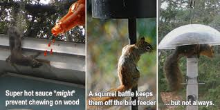 Squirrel In Basement by How To Keep Squirrels Away From Your House Garden Bird Feeder