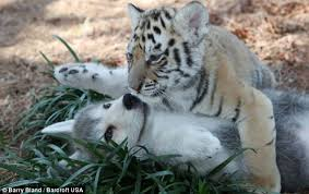 wolf and tiger cubs brought together to form a unique bond of
