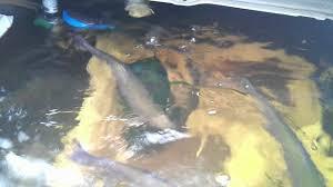 trout in pond u0026 silkies in backyard youtube