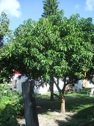dwarf wurtz avocado ca avocado guide http www goldengatepalms