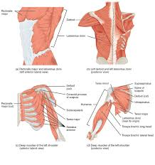 Anatomy Of Human Back Muscles Muscles Of The Pectoral Girdle And Upper Limbs Anatomy And